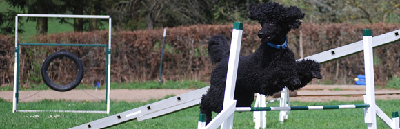 Agility - Ein Hund springt über einen Hindernisparcours