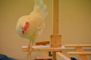 Huhn 4